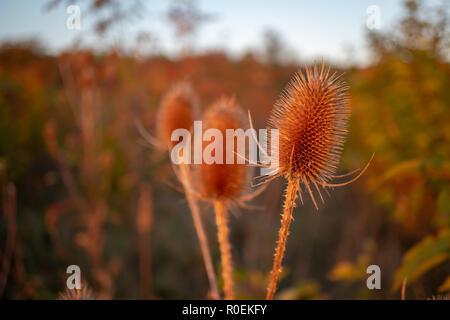 Fleur De Chardon Seche Banque D Images Photo Stock 153655312 Alamy