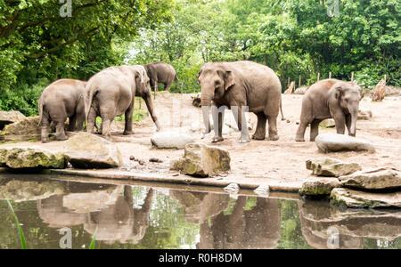 Les éléphants d'Asie (Elephas maximus) avec des subadultes près de l'étang. Les femelles adultes et les veaux se déplacer ensemble comme des groupes
