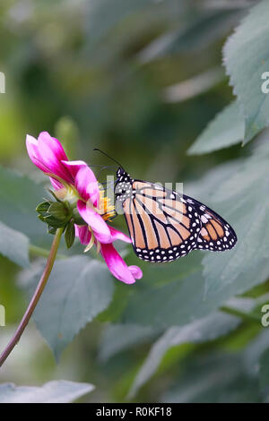 Monarque papillon pollinisant une fleur rose dans un jardin de Pâquerettes et fleurs sauvages