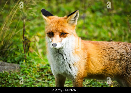 Red Fox permanent dans un clos Banque D'Images