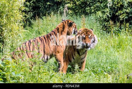 Tigresse de Sumatra (Panthera tigris sondaica) taquineries homme tigre. Tigres adultes solitaire mènent des vies, mais ne sont pas toujours des territoires. Banque D'Images
