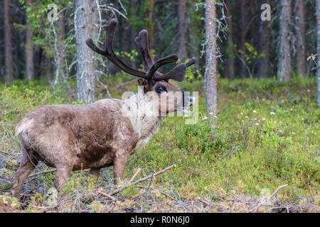 Renne, Rangifer tarandus balade en forêt, la présence de grandes ramures, Gällivare County, en Laponie suédoise, Suède