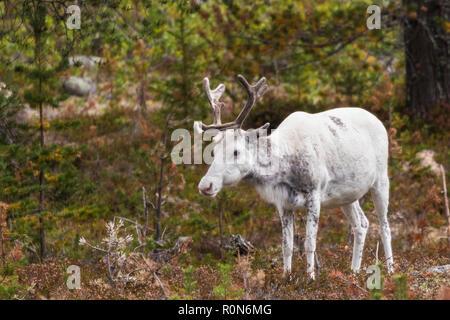 Renne Blanc, Rangifer tarandus balade en forêt, la présence de grandes ramures, Gällivare County, en Laponie suédoise, Suède