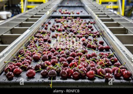 Les cerises mûres rouges sur une courroie de convoyeur humide dans un entrepôt d'emballage pour l'exportation Banque D'Images