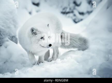Paysage d'hiver avec un adulte blanc renard polaire ou Alopex lagopus en Laponie finlandaise sur l'arrière-plan de la vraie neige. Animal blanc est plein d'attention et de li