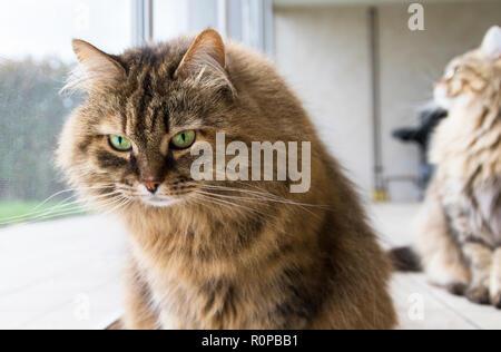 Chat drôle à la fenêtre, curieux animal Banque D'Images