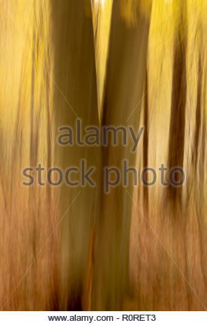 Mouvement de caméra intentionnelle forestiers (ICM) de droit à la lumière et à moyen et jaune d'or avec des troncs plus sombre Banque D'Images