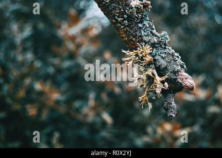 Close-up d'Hypogymnia dans une branche sur la montagne Banque D'Images