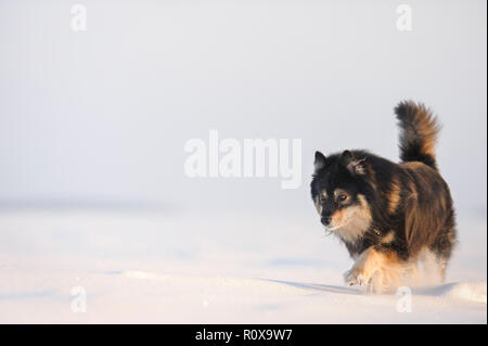 Finnish Lapphund dans paysage d'hiver enneigé.