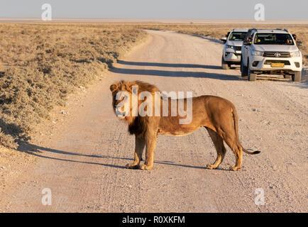 Lion traversant la rue - un homme adulte lion traversant la route devant les voitures, Etosha National Park, Namibie, Afrique du Sud Banque D'Images