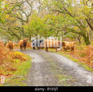 Troupeau de bovins Highland sur l'île de Mull dans les Hébrides intérieures, Écosse, Royaume-Uni au cours de la saison de l'automne ou à l'automne avec les feuilles d'or et de fougères. Banque D'Images