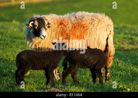 Brebis Swaledale avec deux petit, mignon, agneaux noir éclairé par le soleil du soir, debout ensemble dans le champ de la ferme au printemps - Yorkshire, Angleterre, Royaume-Uni. Banque D'Images