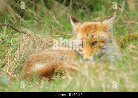 Point faible vue d'un jeune sauvage red fox (Vulpes vulpes) renarde et vous reposer dans le pré d'herbe et de bois. Banque D'Images