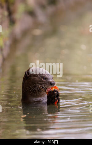 Enduit lisse Otter manger une carpe dans les jardins botaniques de Singapour