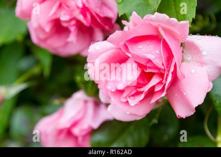 Gouttes de pluie sur une rose rose Banque D'Images