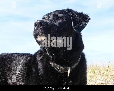 Labrador Retriever dans les dunes de sable Blavand - Danemark
