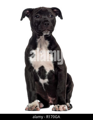 American Staffordshire Terrier puppy sitting (3 mois)