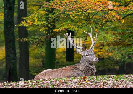 Red Deer (Cervus elaphus) stag / homme reposant dans forêt d'automne dans les Ardennes durant la saison de chasse