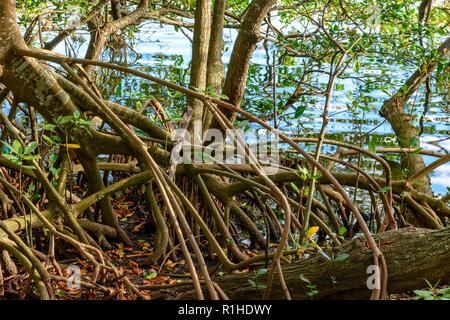 Cadre naturel et préservé de la végétation de la mangrove sur le bord d'une lagune au Brésil Banque D'Images