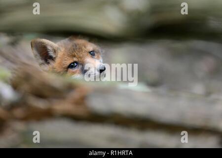 Le renard roux (Vulpes vulpes) cub sur entre branches d'un arbre tombé dans les bois près de sa terre, près de Bath, Royaume-Uni, mai. Banque D'Images