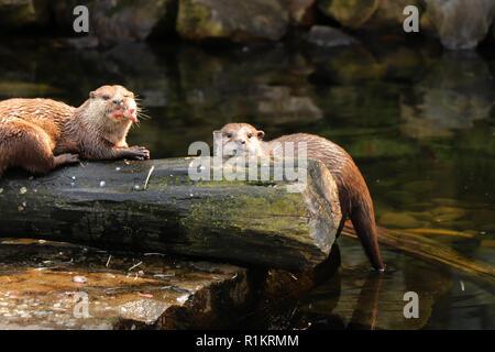 Un petit deux loutres asiatiques manger des petits poissons ou des repas sur le dîner. À la fois sur l'appareil-photo et de trouver la prochaine proie. Banque D'Images
