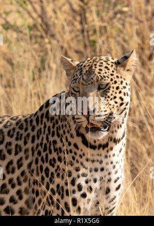 Panthera pardus léopard; un homme adulte au repos assis, Namibie Afrique du Sud