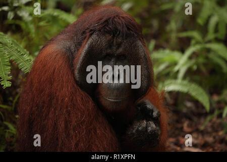 L'orang-outan sauvage dans la jungle Banque D'Images