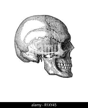 Vintage illustration de l'anatomie, le crâne humain vue latérale. Banque D'Images
