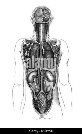 Vintage illustration de l'anatomie, les organes humains de derrière Banque D'Images