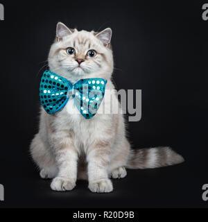 Super cute blue tabby point British Shorthair cat kitten assis bien droit portant un nœud papillon bleu, avec des yeux bleus. Isolé