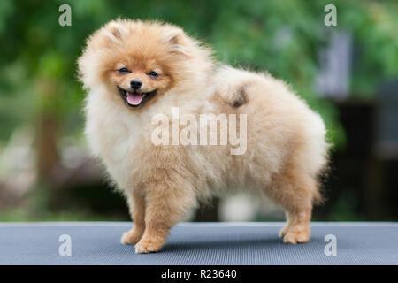 Sourire de chien spitz pomeranian. Pomeranian dog Portrait peu souriant. Marche d'automne de chien pomeranian en octobre journée ensoleillée. Banque D'Images