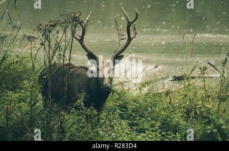 Deer à la dans l'appareil photo Banque D'Images