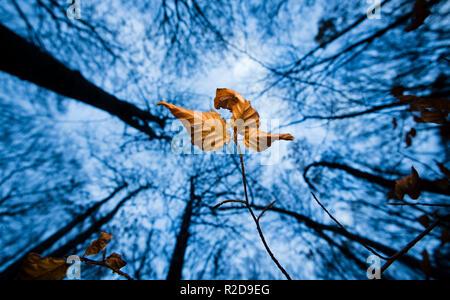 Sehnde, Allemagne. 19 Nov, 2018. Dans une forêt, trois feuilles qui changent de couleur en automne sont encore suspendue à un jeune lion. Credit: Julian Stratenschulte/dpa/Alamy Live News Banque D'Images