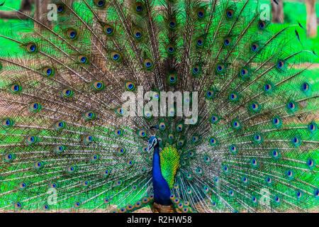Peacock indien, oiseau national de l'Inde