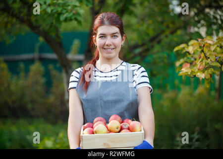 Photo de jeune femme avec la récolte de pommes jardinier dans un coffret en bois dans le jardin de l'été jour Banque D'Images