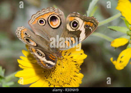 Junonia coenia Buckeye, commune, sur Crownbeard encelioides Verbesina, doré