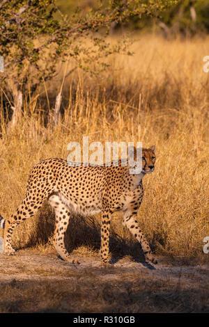 Un guépard vu dans le parc national de Hwange au Zimbabwe Banque D'Images