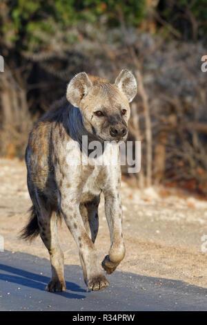 L'hyène tachetée ou rire hyène (Crocuta crocuta), adulte de sexe féminin exécutant le long d'une route goudronnée, dans la lumière du matin, Kruger National Park, Afrique du Sud