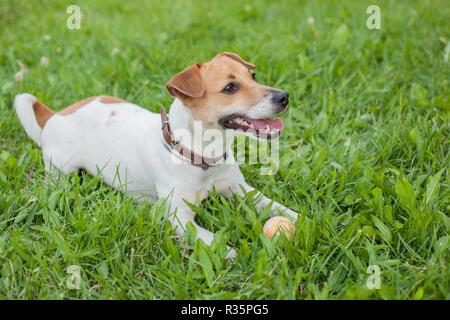 Un Jack Russell Terrier chien dans un collier brun se trouve sur une herbe verte avec une petite balle jaune Banque D'Images