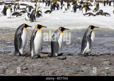 Quatre manchots royaux à pied dans une rangée dans la plaine de Salisbury en Géorgie du Sud dans l'Antarctique