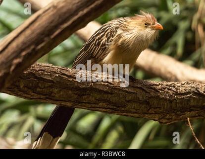 La Guira guira Guira Cuckoo () est originaire de l'Amérique du Sud.Cet oiseau a été photographié en captivité