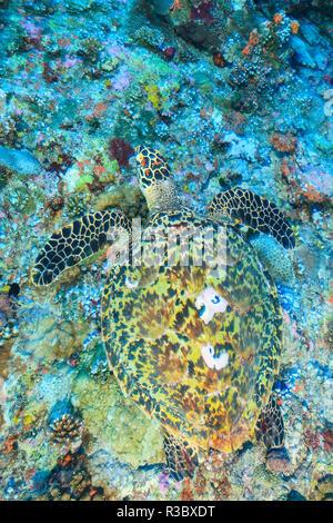 La tortue imbriquée (Eretmochelys imbricata), au nord de l'Atoll Huvadhoo Sud, Maldives, océan Indien Banque D'Images