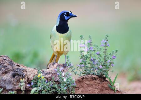 (Cyanocorax Yncas Jay vert) perchés dans les fleurs sauvages Banque D'Images