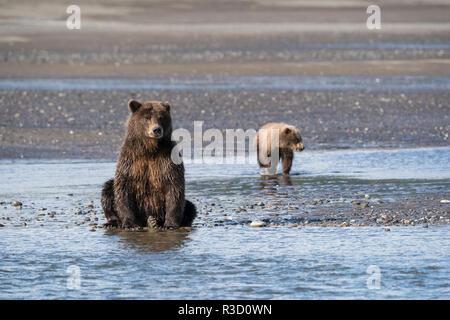 Un ours brun (Ursus arctos) et son petit watch pour le poisson le long de la rivière dans la région de Lake Clark National Park, Alaska. Banque D'Images