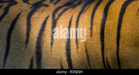 L'Inde. Tigre du Bengale mâle peau (Pantera tigris tigris) montrant les bandes qui leur permettent de se fondre dans leur environnement tandis que sur la chasse. Banque D'Images