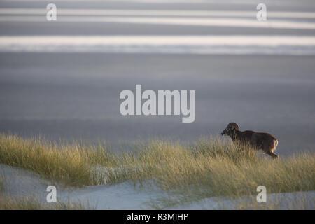 Mouflon (Ovis gmelini européenne musimon) introduit en Baie de Somme, réserve naturelle de la Baie de Somme, Picardie, France Banque D'Images