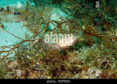 Lizardfish atlantique (Synodus saurus) sur le fond, Gozo, Malte Banque D'Images