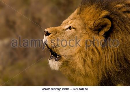 Orangenen Brüllender Löwe mit l'enfer Augen und langer Mähne Banque D'Images