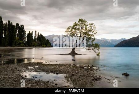 Nouvelle Zélande, île du Sud, Otago, Wanaka, Wanaka l'arbre