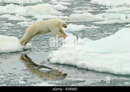 La Norvège, Svalbard, l'ours polaire sautant entre la banquise Banque D'Images